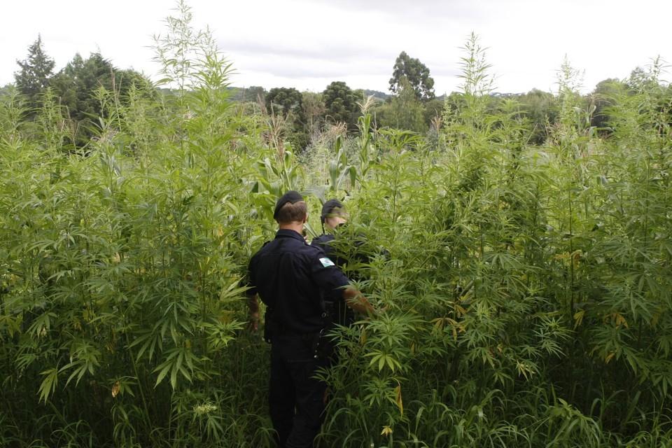 cannabis-marco-regulatorio-riscos-plantio-maconha
